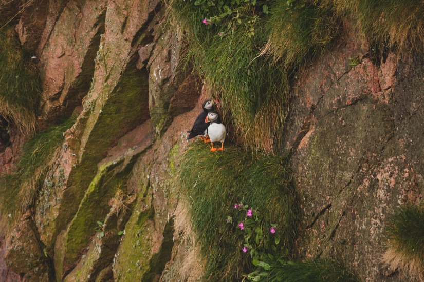 Puffins at Bullers of Buchan